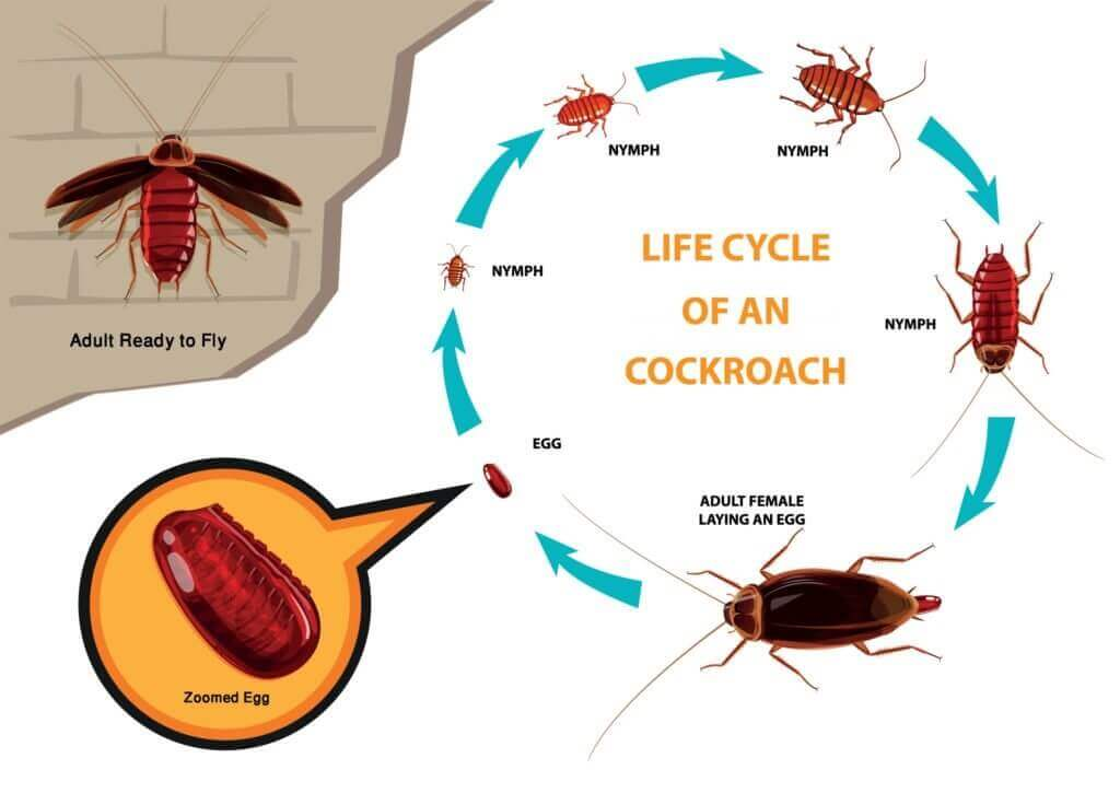 cockroach-life-cycle