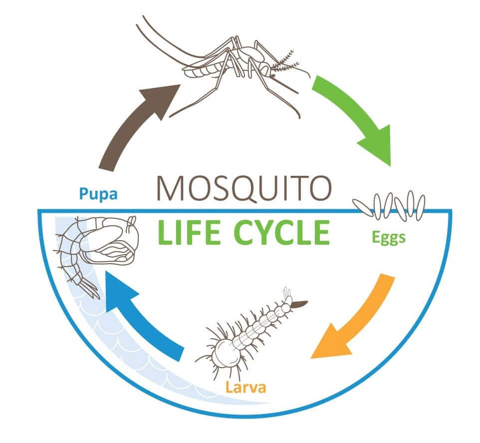 mosquito-life-cycle