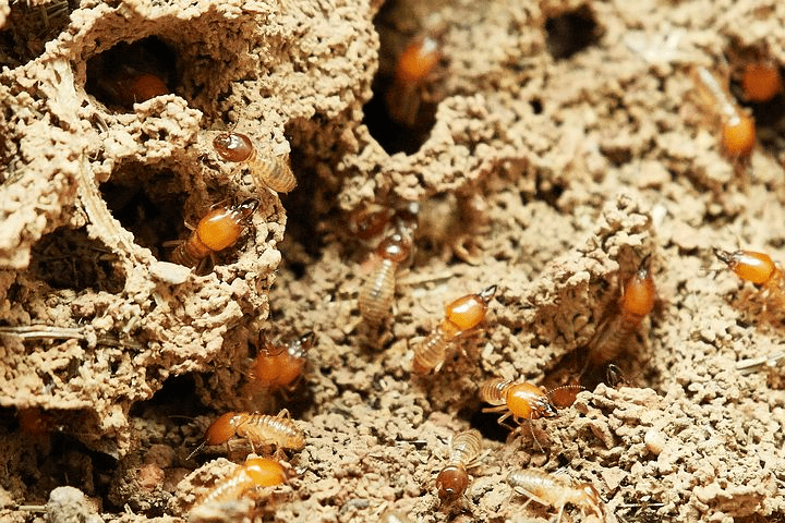 Why are Termites Pest Control Necessary